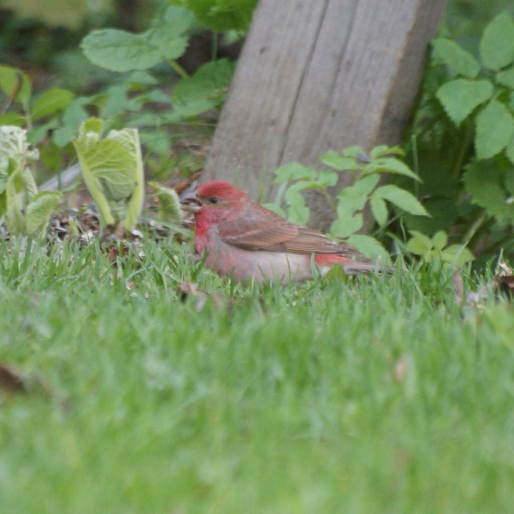 punavarpunen nurmikolla